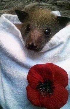 Baby flying fox bat in rehab Creatures Of The Night, Cute Creatures, Beautiful Creatures, Cute Baby Animals, Funny Animals, Bat Flying, Baby Bats, Fruit Bat, Cute Bat