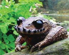 Hipster toad! Ailao Moustache Toad (Vibrissaphora ailaonica)