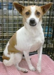 Tinkerbell is an adoptable Chihuahua Dog in Orlando, FL.  Tinkerbell is a female chihuahua. She is about 9 pounds. She's around 3 years old, spayed, current on shots, heartworm negative and microchipp...