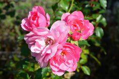 13 octobre 2015 - Sophie du Bus - Picasa Albums Web Albums, Rose, Nature, Flowers, Plants, Gardens, Picasa, October, Pink