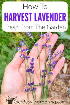 Lavender is a beautiful herb plant with purple flowers that are prized for the calming fragrance. Lavender Uses, Lavender Leaves, Growing Lavender, Lavender Garden, Growing Herbs, Lavender Plants, Lavander, Lavender Fields, Gardening For Beginners