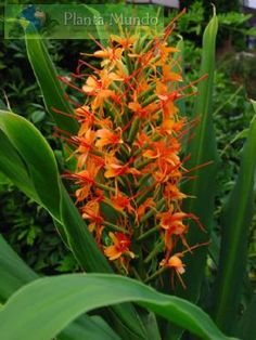 Red Butterfly Ginger - Orange Bottlebrush Ginger - Hedychium coccineum