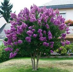 Small Flowering Trees Front Yards_60