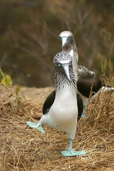 Dancing Blue Footed Booby Bird. - boy,that's comical