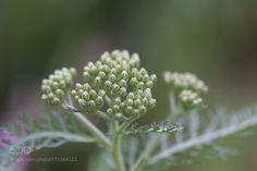 yarrow by ilagannon #nature #photooftheday #amazing #picoftheday