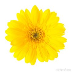 GrowersBox.com: Flowers: Gerbera Daisies Yellow 84 Stems: Wholesale Flowers