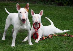 Como Adiestrar A Un Perro Bull Terrier. Como adiestrar a un perro Bull terrierCada perro tiene una forma muy diferente de carácter, por eso si lo que quieres es adiestrar a uno, trata de que sea cachorro cuando lo hagas, es un poco más fácil cuando son pequeños. Los Bull terrier no son la excepción a pesar que son perros de casa y muy juguetones, siempre necesitan de alguien que le enseñe buenos modales e incluso trucos para....  Como Adiestrar A Un Perro Bull Terrier. Para ver el artículo…