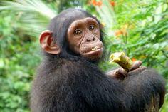 Chinoise, a baby chimpansee, eating a banana