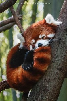 """joi-in-the-tardis: """" footballintuxedos: """" lethal-corruption: """" wildlife-experience: """"Red Pandas Time! """" Red Pandas are unacceptably cute. Cute Creatures, Beautiful Creatures, Animals Beautiful, Animals Amazing, Nature Animals, Animals And Pets, Funny Animals, Photos Of Animals, Colorful Animals"""