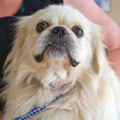 Otis is an adoptable Pekingese Dog in Austin, TX. Otis is a handsome White Pekingese. He is only 3 years old and loves to run and play. He bonds quickly to men and warms up to women a little slower....