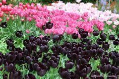 Black and pink tulips make a great combination   #travel to the #tulipsinholland spring 2018 http://tulipsinholland.com/tickets-tours-keukenhof/?utm_content=buffer3961a&utm_medium=social&utm_source=pinterest.com&utm_campaign=buffer