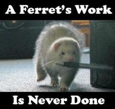 "Pinner said""Ferrets are the cutest theives you'll ever meet. My ferrets love stealing plastic things like grocery bags and ziplocks"" hey mine too Baby Ferrets, Funny Ferrets, Pet Ferret, Ferret Meme, Ferret Toys, Ferrets Care, Pet Rats, Animals And Pets, Baby Animals"
