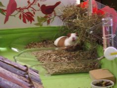 Sweet Candy... - Guinea Pig Cage Photos