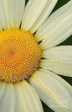 ~~Daisy Finery ~ dew drops on a wild daisy by Terri Gostola~~