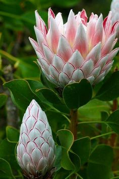 Protea flowers and nature