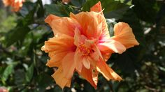 hibiscus flower - Google Search