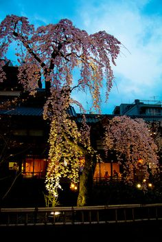 Cherry tree in full bloom at night Gion, Kyoto, Japan