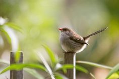 Superb Fairy-wren 2014-05-13 (_MG_4432)   Flickr: Intercambio de fotos