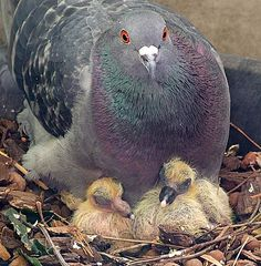 baby pigeon pictures