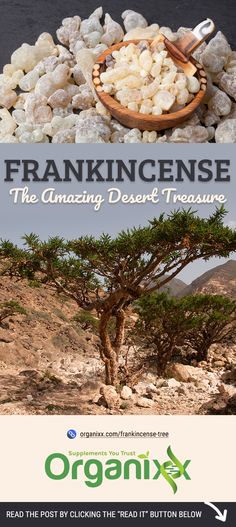 Frankincense Tree: The Amazing Desert Treasure with a Story to Tell