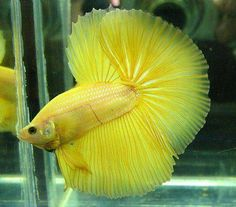 BETTA: Yellow Halfmoon #Betta Fish!