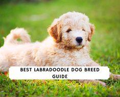 Improper Coat Goldendoodle and Furnishings! (2021) We Love Doodles Labradoodle Breeders, Goldendoodle Grooming, Labradoodle Haircuts, Mini Goldendoodle, Dachshund Breeders, Dog Haircuts, Labradoodles, Bernedoodle Puppy, Goldendoodles