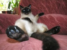 Siamese cats (95 pictures) (3)                                                                                                                                                                                 More
