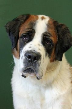 Meet our newest Star.....Hollywood!! Yes, she is that beautiful and has a personality to match!! She is a big #SaintBernard #dog and will require a special family and home to make her the happiest! Already she is showing that she loves to learn new things and has so much potential! http://www.doggielife.com/hollywood/dogs/YO60DB