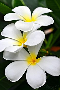 Plumeria. We made fresh lei's from these flowers that we picked from trees in our yard. lovely