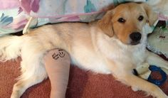 Find out how products from a local hardware store made this golden retriever's recovery from a leg injury a little easier.
