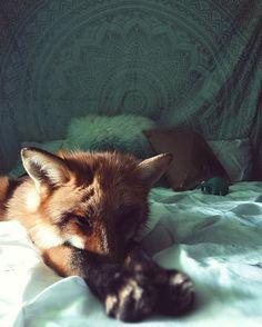 Not a Morning Fox.