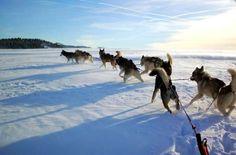 #chien #de #traineau #neige #hiver #ski #huskie #insolite