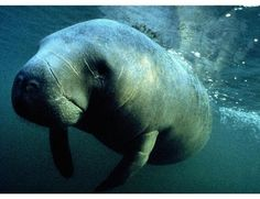 Sea Monsters Real and Imagined:  Manatee Photos : Discovery News