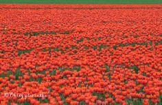 Tulips / Tulpen / Tulipany