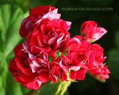 Pelargonium Pink Rambler