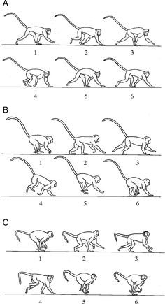 Stabilization and mobility of the head and trunk in vervet monkeys (Cercopithecus aethiops) during treadmill walks and gallops | Journal of Experimental Biology