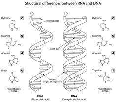 DNA The Double Helix, Coloring Worksheet … Scientific
