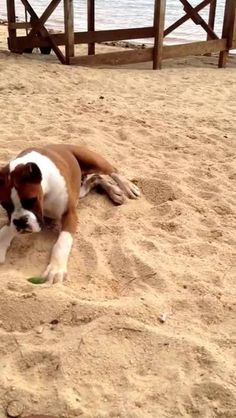 Boxer Dog Reacts to Lime. Funny video.  haha the lady's laugh in the background..