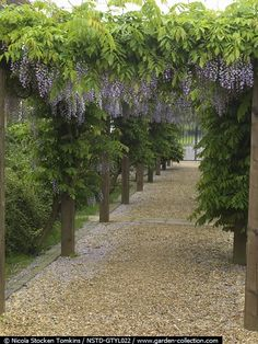 Long wooden pergola straddles gravel path, carrying Wisteria formosa with long panicles of fragrant purple and white, pea like flowers. Tylney Hall