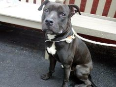 """TO BE DESTROYED -SUN 4/6/14  Manhattan Ctr BOWER A0994727 Male gry/wht pit mix 3 YRS old STRAY 3/23/14  Volunteer says """"Bower is friendly to all & ... Rambunctious boy, responds well to correction while on leash. Seems to enjoy the company of other dogs. If you're looking for an athletic companion w/ a true lust for life, Bower's the boy for you. With proper training, exercise this playful youngster will flourish in a household of experienced active adults with or without dog savvy older…"""