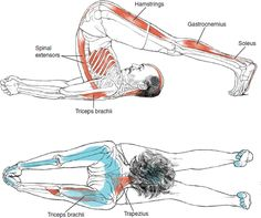 Halasana - Leslie Kaminoff Yoga Anatomy Illustrated by Sharon Ellis