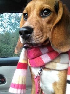 Beagle Freedom Project little cutie in her new home. Love the scarf.