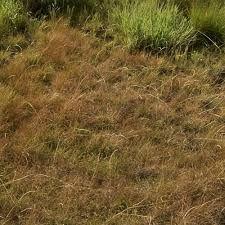 Microchloa Caffra - Google Search Grass Type, Grasses, Google Search, Plants, Lawn, Grass, Plant, Planets