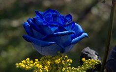 Blue roses do not occur in nature, at least not the absolute blue roses. Roses lack the pigment that produces blue color. ~Kathy~