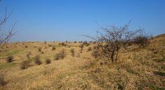 Weide-Halbtrockenrasen wie hier im Burgenland werden durch Vieh kurz und strauchfrei gehalten.