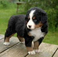Bouvier Bernois, cutest