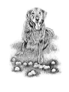#Golden #Retreiver with his tennis balls. A Hand drawn portrait done in graphite pencil by #pet portrait artist Genevieve Schlueter. Commissions welcome!