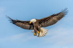 https://flic.kr/p/LGoLqj | Bald Eagle Searching | Taken in Kachemak Bay…