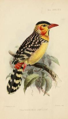 Red & Yellow Barbet (trachyphonus shelleyi) from The Ibis, by The British Ornithologists' Union, 1859.