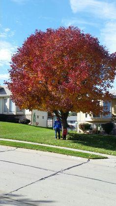 My ash tree this fall!